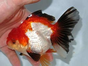 7月23日 新着情報のご案内です。 - フルタニ金魚倶楽部blog