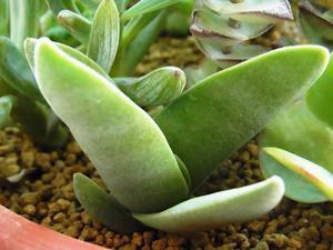 Crassula perfoliata var.falcta -