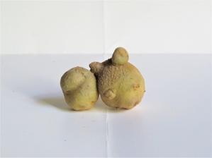 面白い姿のジャガイモとピーマン!。さて、何に似ているでしょうか?。 - 京都の骨董&ギャラリー「幾一里のブログ」