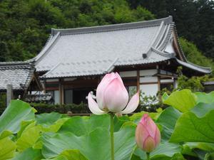 『美濃市笠神の正林寺の蓮』 - 自然風の自然風だより