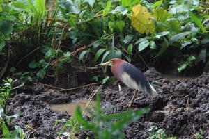 2012年5月の悪石島の野鳥 2 - ふるさと加世田から
