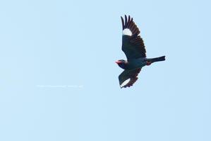 信越自然郷の鳥達 ブッポウソウ - 野沢温泉とその周辺いろいろ2