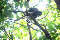 巣立ち雛♪ <青葉木莬> - 風のむろさん 自然の詩