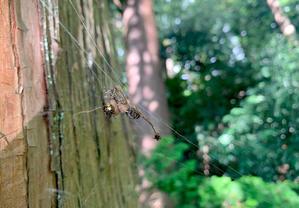 オオヒメグモ(大姫蜘蛛) - 世話要らずの庭