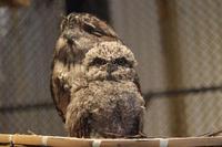 とろけるガマグチヨタカのヒナ「てんちゃん」(キャンベルタウン野鳥の森) - 続々・動物園ありマス。