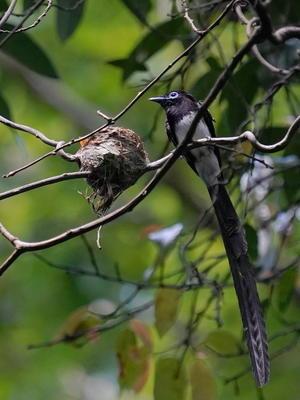子育てに頑張るサンコウチョウのお父さん - シエロの野鳥観察記録