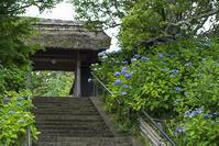 東慶寺の紫陽花 - エーデルワイスブログ