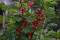 自然栽培 スグリ ニジュウヤホシテントウムシ - 自然栽培 釧路日記
