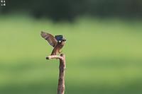 喜びの舞い カワセミ - 野鳥公園