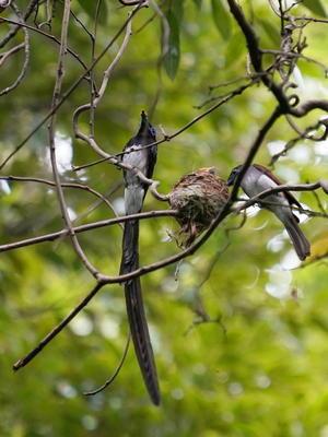 奮闘する育メンパパ!サンコウチョウ  - シエロの野鳥観察記録
