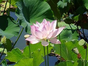 草津市立水生植物園水の森のハス - 彩の気まぐれ写真