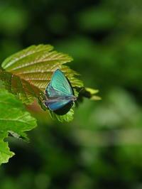 ジョウザンミドリ、アイノミドリシジミ - 自然を楽しむ
