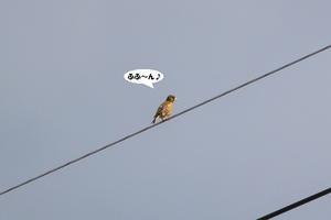 シブいぜ、オレ♪ - わくわくバードウォッチング こんなの鳥ました