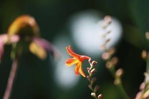 クロコスミアの花 - 四季の草花と蜘蛛の巣に魅せられて。