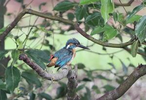 カワセミの公園で その11 - 私の鳥撮り散歩