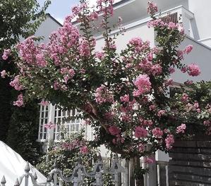 百日紅の花が咲く夏の日に - 結婚相談室代表の喜怒哀楽日記