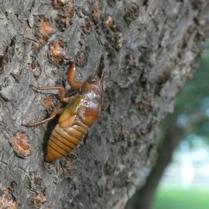 木を上るセミの幼虫 - そらいろのパレット