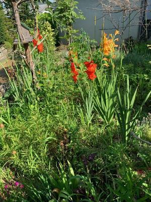 去年の種から向日葵が咲き始めました。 - きいろいポケット