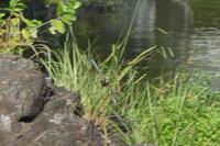 カワセミとスッポン - 水元かわせみの里水辺のふれあいルーム