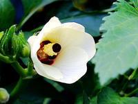 オクラとトロロアオイの花 - しらこばとWeblog