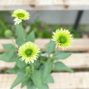 入荷情報 - さにべるスタッフblog     -Sunny Day's Garden-