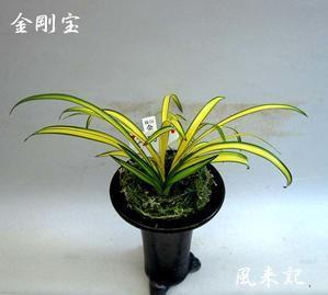 金剛宝          No.2112 - 東洋蘭風来記奥部屋