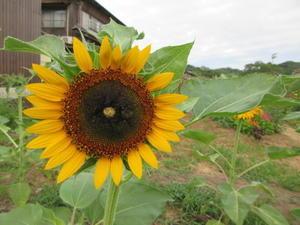元気印のヒマワリ咲いて - 丹後半島 のんびり気まま暮らし