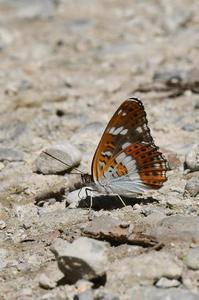 林道のイチモンジチョウ - 続・蝶と自然の物語