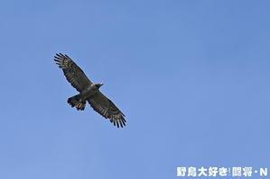 青空を飛ぶハチクマ - 野鳥大好き!闘将・N