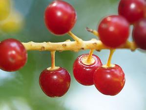 ウワミズザクラとイヌザクラ果実をくらべる -