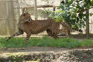 ネコ好きにはたまりません。チーターのホタカが、小川でジャンプ - 旅プラスの日記