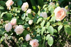 デスデモーナの2番花*今度こそホントの破水 - my small garden~sugar plum~