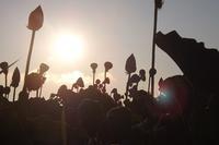 日の出の蓮田 - じょんのび