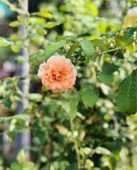 女3代でお買い物♫と、青空のバラ♡と、クレマチスの2番花♫ - 薪割りマコのバラの庭
