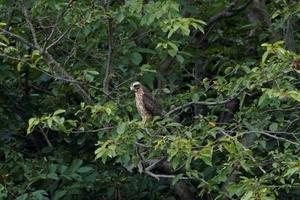 ちょこっと速報、サシバが飛来しました! - 葛西臨海公園・鳥類園Ⅱ