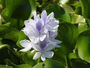 『布袋葵(ホテイアオイ)や沼虎の尾(ヌマトラノオ)の花達~』 - 自然風の自然風だより