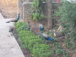 孔雀の鳴き声で目覚める - Blue Lotus
