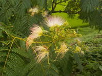 合歓の花、・・その2 - 日頃の思いと生理学・病理学的考察
