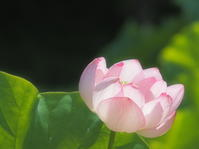 蓮 19   京都府 - ty4834 四季の写真Ⅱ