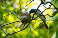 子育てのサンコウチョウ(三光鳥) - 野鳥などの撮影記録