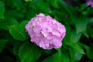 藤森神社の紫陽花 - ぴんぼけふぉとぶろぐ2