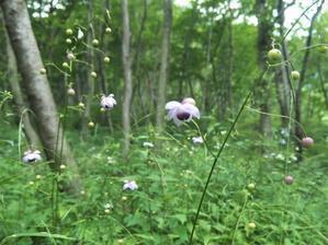 レンゲショウマ咲く 水沢山へ2021.8.2(月) - 心のまま、足の向くまま・・・