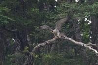 飛び出し.....ハヤブサ - 新  鳥さんと遊ぼうⅡ