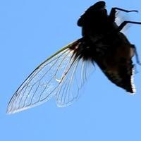 クマゼミ  - 虫のひとりごと