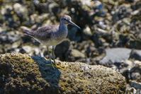 磯のキアシシギ(黄脚鷸) - 野鳥などの撮影記録