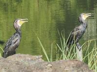 鳥類調査で暑がりの鳥たちを見かけました! - 水元かわせみの里水辺のふれあいルーム