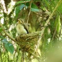 サンコウチョウの4羽のヒナのうち最後のヒナが巣立った瞬間 - 旅プラスの日記