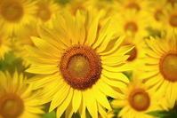 ひまわり - さぬき風花