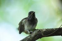 大きくなった幼鳥.....サンコウチョウ - 新  鳥さんと遊ぼうⅡ