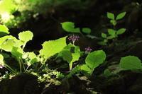 イワタバコ ~粕川 滝沢の不動滝~ (2021/8/5撮影) - toshiさんのお気楽ブログ